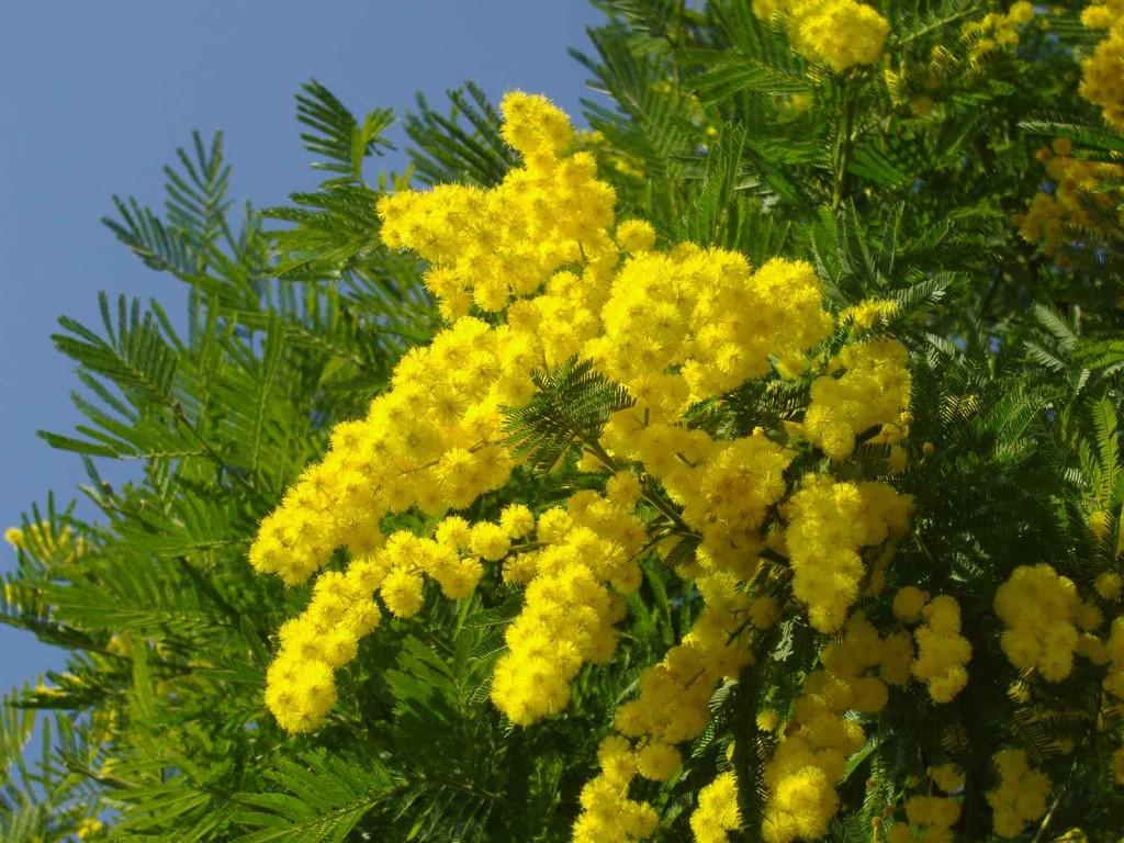 pianta-di-mimosa